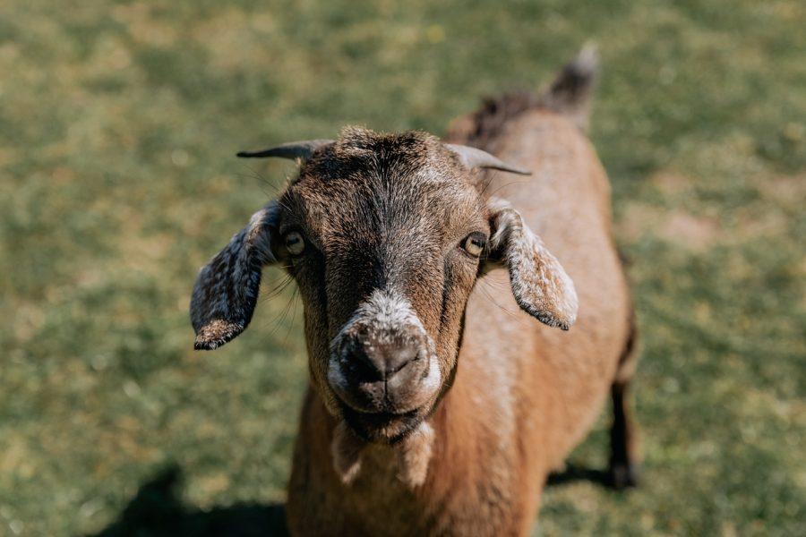 Farm Goat looking at camera