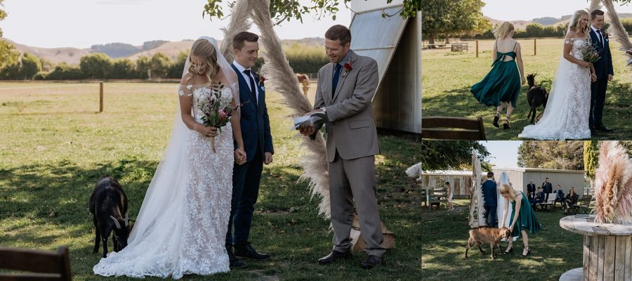 Bride laughing at goat eating her dress