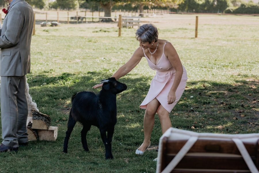Mother of bride wrangles goat
