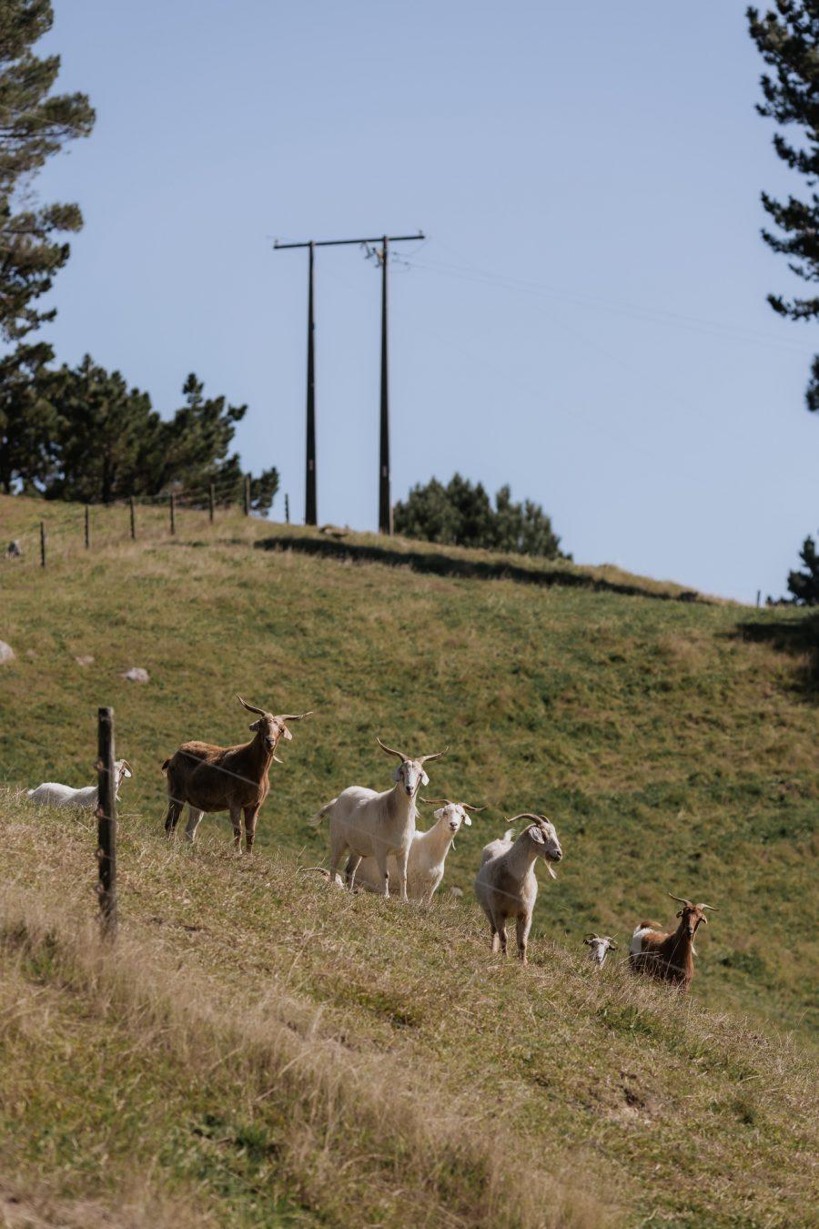 goats at Orua Beach house farm