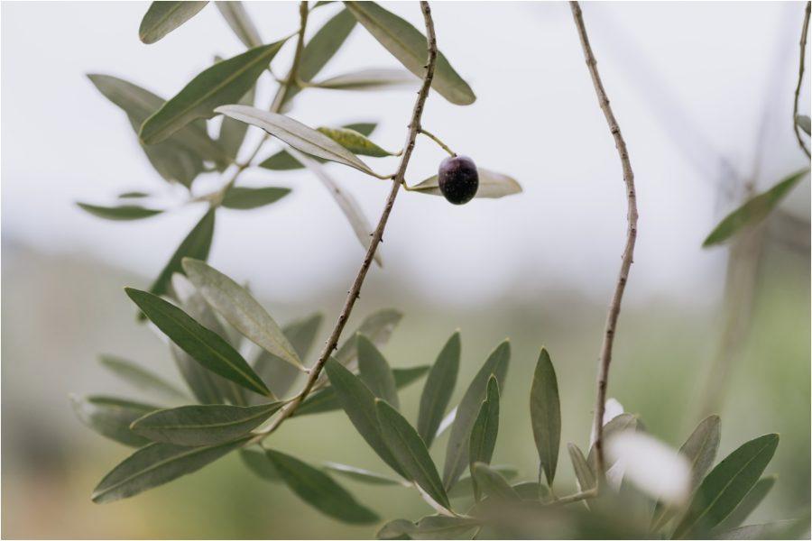 Olive grove Bracu